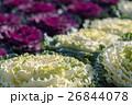 植物 葉牡丹 アブラナ科の写真 26844078
