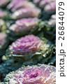 植物 葉牡丹 アブラナ科の写真 26844079