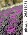 植物 葉牡丹 アブラナ科の写真 26844081