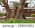 蒲田神社の1000年樟(大阪府大阪市) 26845901