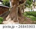 蒲田神社の1000年樟(大阪府大阪市) 26845903