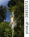 クモ クモの巣 ナガコガネグモの写真 26853372