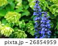 ブルーサルビア 花 植物の写真 26854959