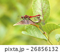 ナツアカネ トンボ 交尾の写真 26856132