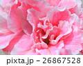 アザレアピンク 植物 花の写真 26867528