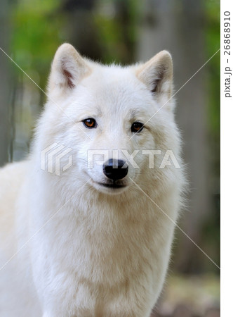 White wolf in forest 26868910