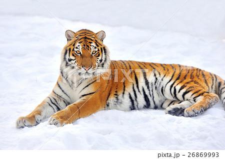 Tigerの写真素材 [26869993] - PIXTA
