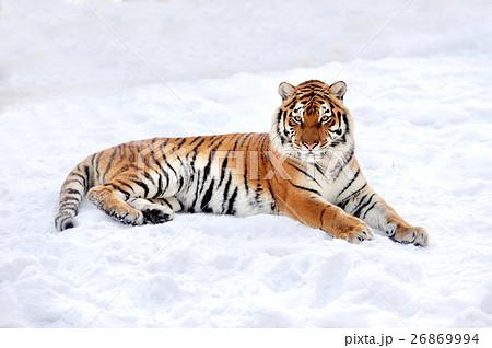Tigerの写真素材 [26869994] - PIXTA