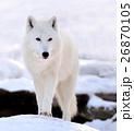 おおかみ オオカミ 狼の写真 26870105