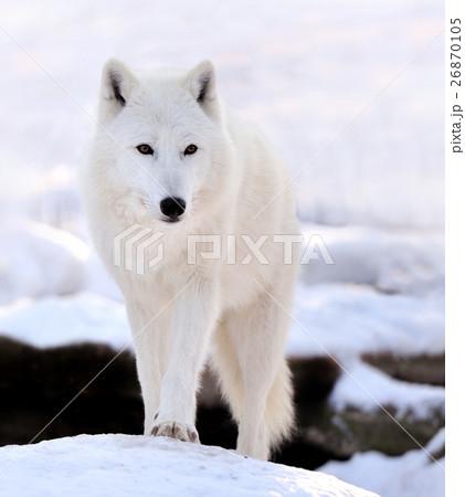 Wolf 26870105