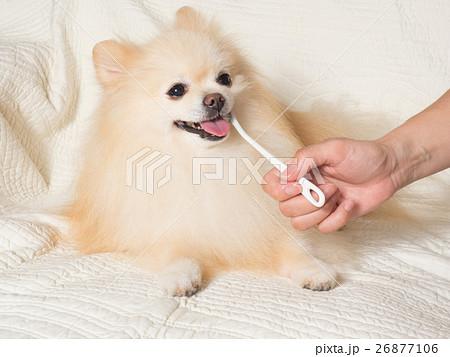 歯磨きをするポメラニアン 26877106