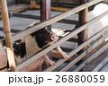 農業 農耕 動物の写真 26880059