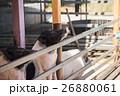 農業 農耕 動物の写真 26880061