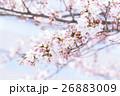 桜 そめいよしの さくら クローズアップ 接写 コピースペース 26883009