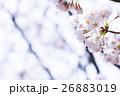 桜 そめいよしの さくら クローズアップ 接写 コピースペース 26883019