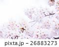 桜 そめいよしの さくら クローズアップ 接写 コピースペース 26883273