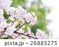 桜 そめいよしの さくら クローズアップ 接写 コピースペース 26883275