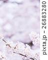 桜 そめいよしの さくら クローズアップ 接写 コピースペース 26883280