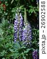 昇藤 ルピナスと呼ばれています。 花言葉は「想像力」 26902588
