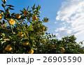 柑橘系 柑橘類 果物の写真 26905590
