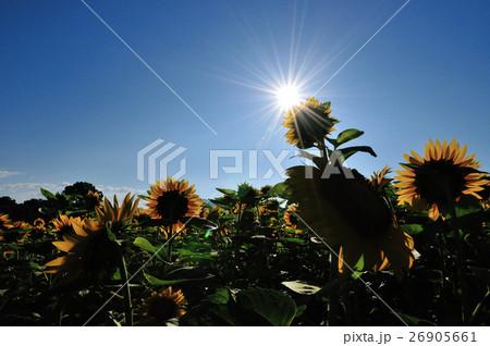 太陽とひまわり 26905661