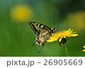 たんぽぽアゲハチョウ 26905669