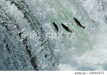 サクラマス飛ぶさくらの滝 26905672