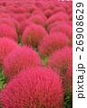 コキア 秋 紅葉の写真 26908629