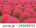 コキア 秋 紅葉の写真 26908630