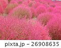 コキア 秋 紅葉の写真 26908635