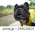 しゃくれ犬 しゃくれた犬 笑う犬 フレンチブルドッグ 散歩 おもしろ写真 Laughing dog 26914915