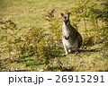 野生カンガルーの群れ 26915291