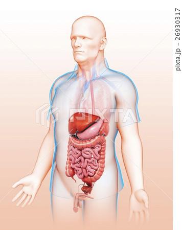 Male digestive system, illustration 26930317