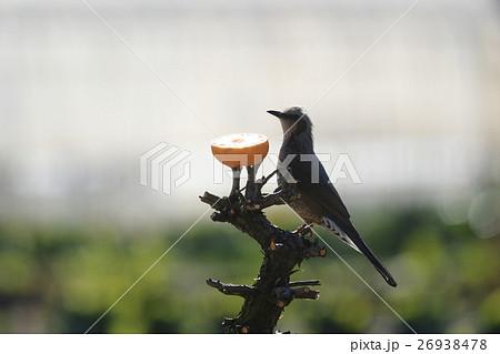 ヒヨドリ 野鳥 鳥 生物 鳥類 餌 みかん 食べる 26938478