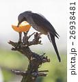 ヒヨドリ 野鳥 鳥 生物 鳥類 餌 みかん 食べる 26938481
