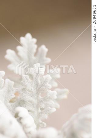 白い葉っぱ シロタエギク 26949651