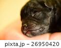すやすや眠る仔犬 26950420