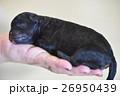 生まれたての仔犬 26950439
