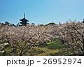 春 御室桜 仁和寺の写真 26952974