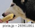 とうもろこしを食べるハスキー犬 26961861