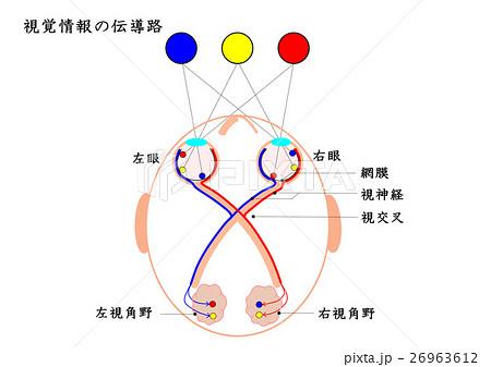 視覚情報の伝導路のイラスト素材...
