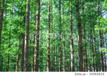 メタセコイアの森 26969838