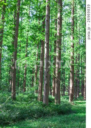 メタセコイアの森 26969839
