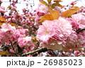 サトザクラ 26985023