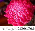 菊 キク 菊の花の写真 26991798