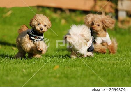 犬 ティーカッププードル ドッグラン 26998794