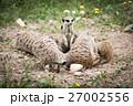 Suricata Suricatta - Meerkat.  27002556