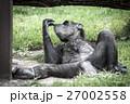 チンパンジー 類人猿 動物の写真 27002558