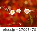 四季桜 27003478
