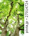 クスノキ 常緑樹 大木の写真 27014724